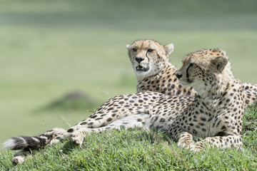 Two Cheetah (Acinonix jubatus) lying down on hill in savanna, Masai Mara, Kenya