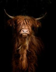 Canvas Prints Highland Cow Schottisches Hochlandrind (Bos taurus) im Portrait vor dunklem Hintergrund