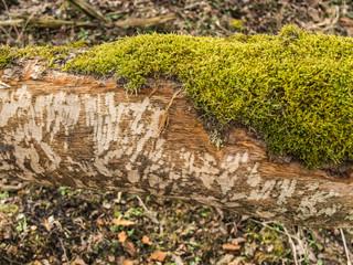 Detail of Beaver  Castor fiber Tooth Marks on Tree Trunk