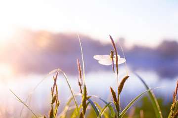 dragonfly in dewy grass at sunrise. blurred background of grass and pond. dragonfly sitting on the grass