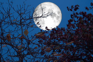 full moon fall leaves tree in hotest on summer