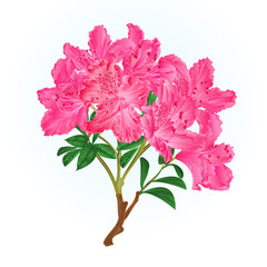 Pink rhododendron branch mountain shrub vintage vector illustration editable hand draw