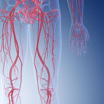 3d rendered medically accurate illustration of the human leg blood vessels