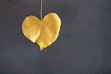 Yellow leaf of a tree in the shape of a heart on a black background. Autumn romantic design. Design with copy space. Top view