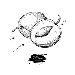 Plum vector drawing. Hand drawn fruit and sliced pieces. Summer food engraved style illustration.