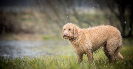 The wet Labradoodle