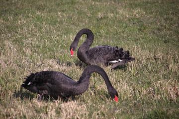 Black swans on a meadow in Moordrecht in the Zuidplaspolder in the Netherlands