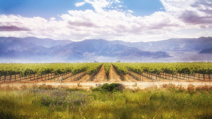 vineyard winery background landscape of agriculture crop