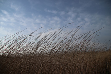 Reed bowing with the wind along Hollandse IJssel in Netherlands