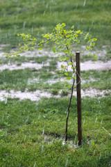 Ginkgo biloba tree, ice storm in the gadren
