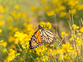 Female Monarch butterfly feeding on a yellow Sneezeweed flower to get energy for her migration in fall