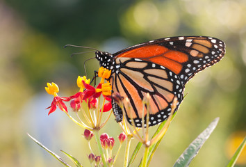 Monarch butterfly feeding on a yellow and red Milkweed flower
