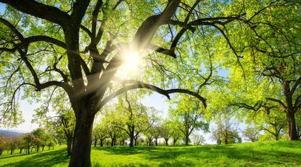 Wall Mural - Obstbäume auf schöner Wiese, mit der Sonne und der Silhouette eines Baums