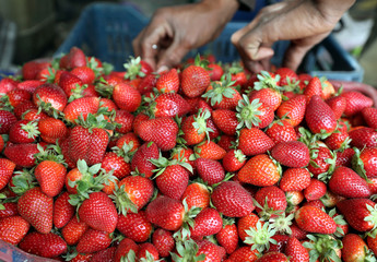A farmer harvests his strawberry crop in a field in the Beheira Governorate, north of Cairo