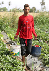 A farmer carries strawberry crop in a field in the Beheira Governorate, north of Cairo