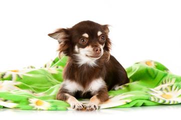 Chihuahua auf Blümchendecke