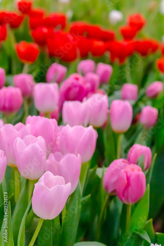 Colorful tulips and flowers blooming in cozy garden variety of colorful tulips and flowers blooming in cozy garden variety of spring flowers and tulips mightylinksfo