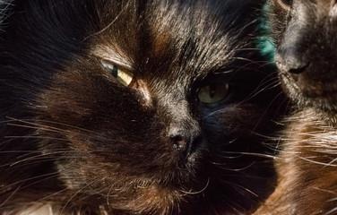 Black lazy fluffy cat