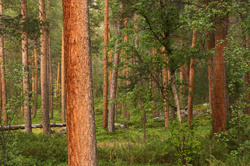 pine forest, Norway, limba, Ovre Dividal