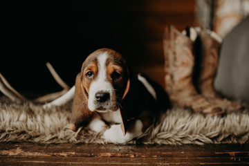 Boudreux the Basset Hound