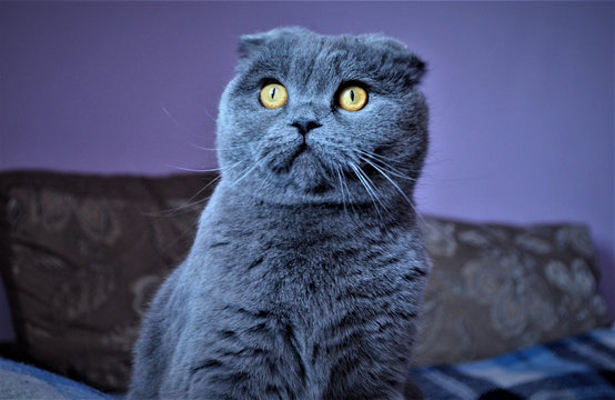 British Shorthair cat isolated on white. Surprised, wtf expression