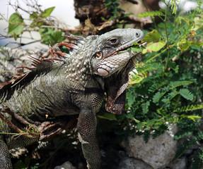 iguana with locust leaft in mouth, St. Croix, U.S. Virgin Islands,Lesser Antilles, Caribbean