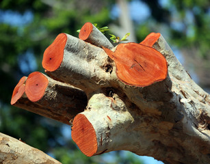 freshly cut hurricane damaged mahogany tree with orange colored fresh saw cuts, St. Croix, U.S. Virgin Islands,Lesser Antilles, Caribbean