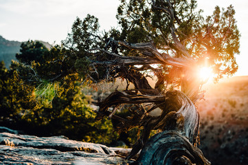 Desert Juniper Tree Sun Flare