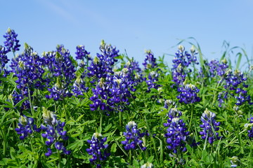 Bluebonnet flowers blooming during spring time near Texas Hill Country, USA