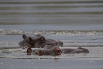 Hippopotamus , Kruger National Park , Africa
