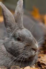 Profile of Dark Gray Rabbit
