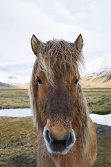 Portrait of Icelandic horse standing on field against cloudy sky