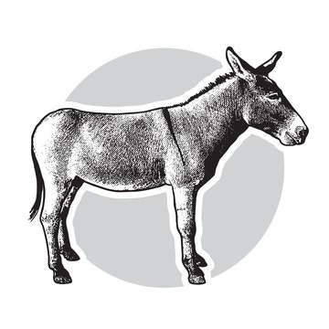 Donkey - black and white side view. Cute farm animal in profile in engraving style. Vector illustration together with a large raster image.