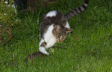 Young cat is catching a rat.