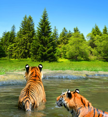 Siberian Tiger (Panthera tigris altaica) in water.