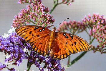 Orange butterfly (Gulf Fritillary) on purple sea foam blossoms, with pink buds in the background. In Arizona's Sonoran desert.