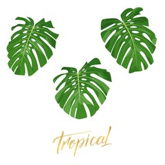 Tropical monstera leaves. Set of isolated exotic leaves design elements
