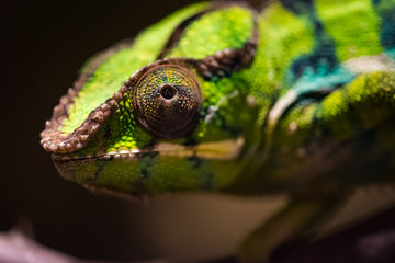 Macro shot of a panther chameleon