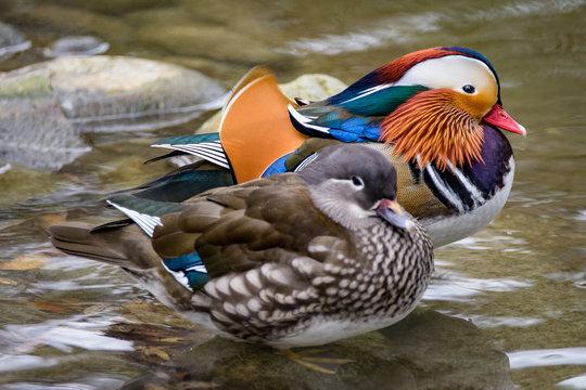 A pair of mandarin ducks standing in shallow water