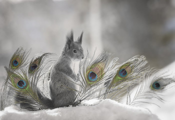 red squirrel standing with peacock feathers in snow