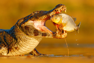 Caiman with piranha. Crocodile catch fish in river water, evening lightr. Yacare Caiman, crocodile with fish in with open muzzle with big teeth, Pantanal, Brazil. Detail portrait of danger reptile.