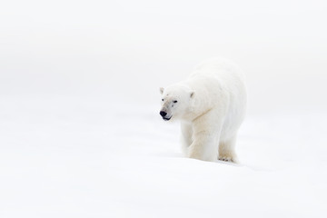 Polar bear on drift ice with snow, clear white photo, big animal in the nature habitat, Canada, wild America. Wildlife scene form nature. Animal behaviour in nature. Big bear walking in the ice.