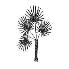 Fan Palm (Arecaceae) tree silhouette, hand drawn doodle, sketch in pop art style, black and white vector illustration