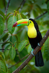Wall Mural - Tropic bird. Toucan sitting on the branch in the forest, green vegetation. Nature travel holiday in central America. Keel-billed Toucan, Ramphastos sulfuratus, beautiful bird. Wildlife Nicaragua.