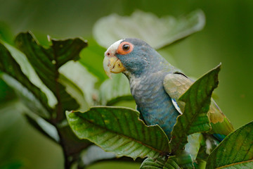 Portrait of parrot, green leave. Pair of birds, green and grey parrot, White-crowned Pionus, White-capped Parrot, Pionus senilis, in Costa Rica. Parrots courtship in the nature. Close-up of head.
