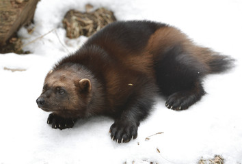"Wolverine, Gulo gulo (Gulo is Latin for ""glutton""), also referred to as glutton, carcajou, skunk bear, or quickhatch, on snow (focus on muzzle)"