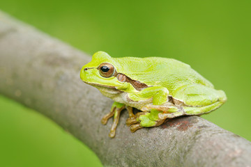 Green Tree frog, Hyla arborea, sitting on grass straw with clear green background. Nice green amphibian in nature habitat. Wild European frog on meadow near the river, habitat. Spring wildlife nature.