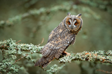 Wall Mural - Long-eared Owl sitting on branch in fallen larch forest during autumn.