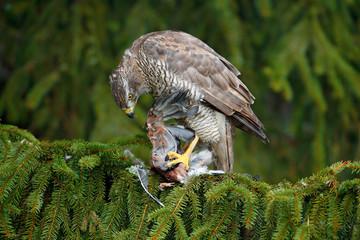 Wall Mural - Goshawk, forest habitat. Hawk from Germany. Wildlife scene from wild nature. Bird behaviour. Bird of prey Goshawk kill jay on green spruce tree. Feeding scene with bird and catch.