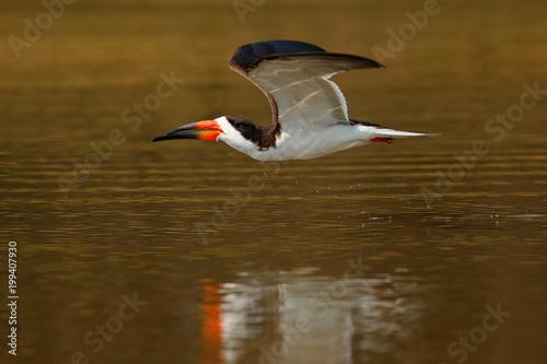 Black skimmer fly, in river, Rio Negro, Pantanal, Brazil